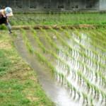 Страны-мировые лидеры по выращиванию риса