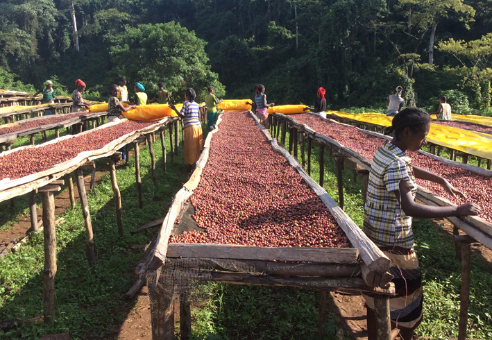 analysis of the coffee industry in ethiopia Coffee%analysis: %an%in3depth%look% 'office' has a considerable impact on the coffee industry into the life-cycle assessment of coffee in hopes that.
