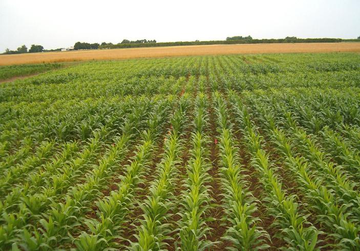 Кукуруза в Европе