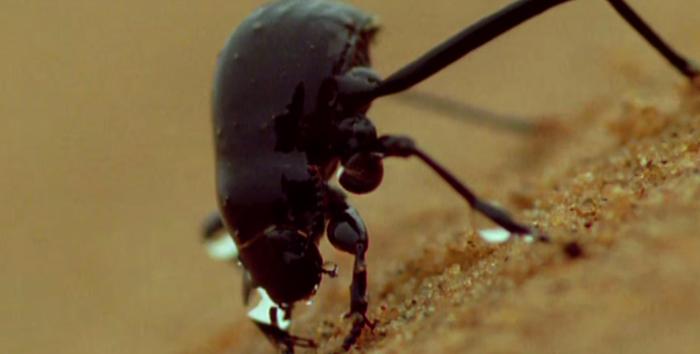 Намибийский жук