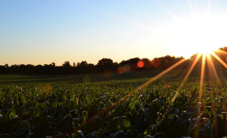 Украинская кукуруза