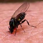 ТОП-5 самых кровососущих насекомых