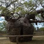 8 самых известных деревьев в мире