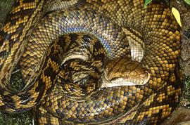 amet_python