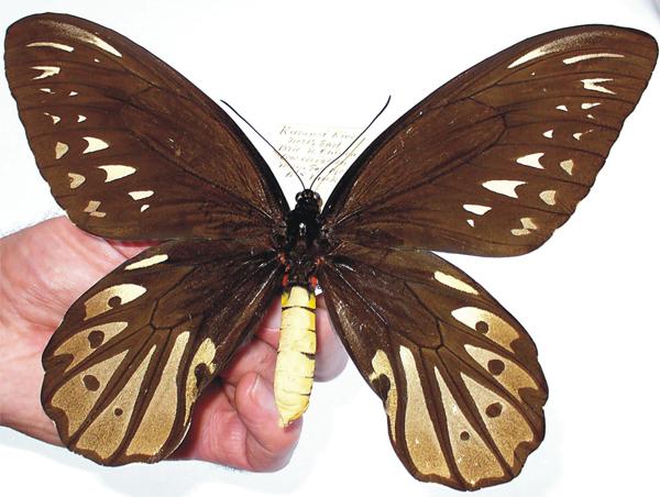 Бабочка Королевы Александры