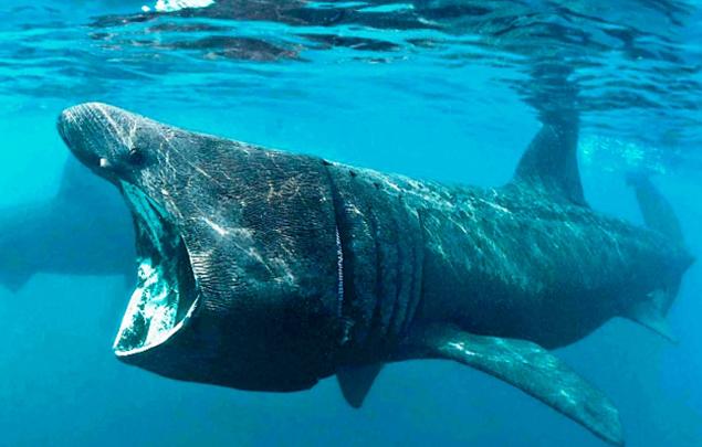 Исполинская  акула