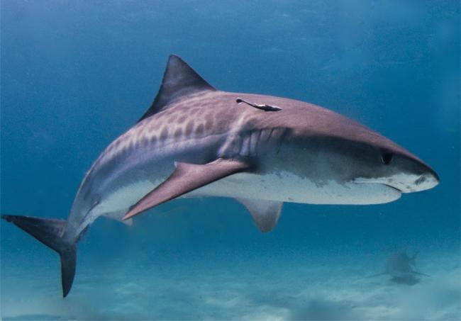 игровая акула