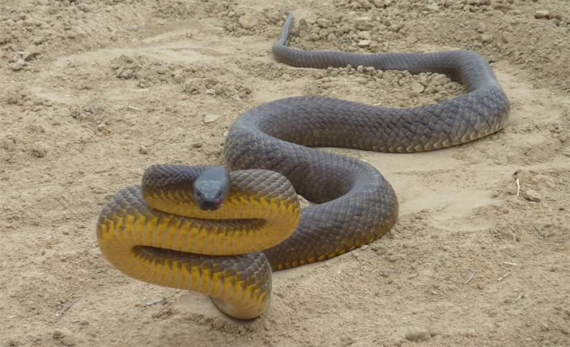 Австралийская жестокая змея