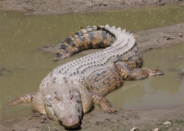 Гребнистый морской крокодил