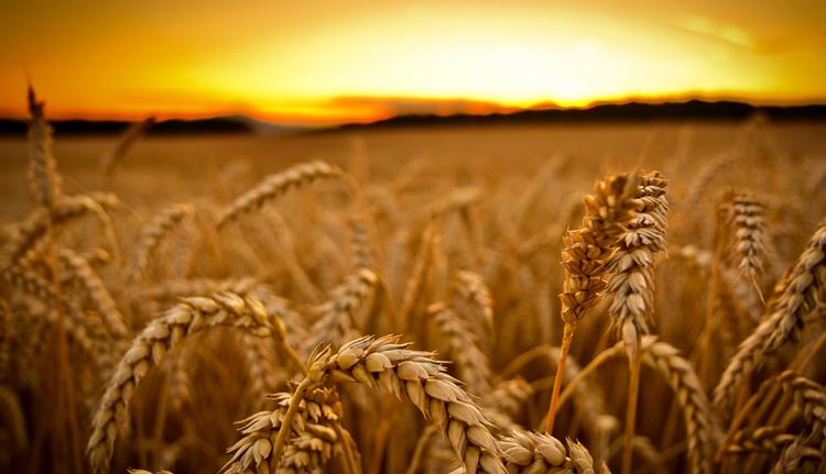 Сбор пшеницы