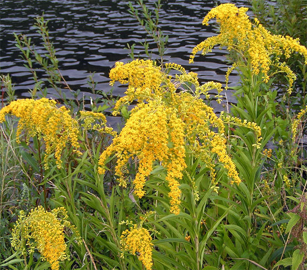 Ouachita Mountain Goldenrod