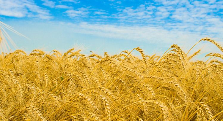 Растущая пшеница