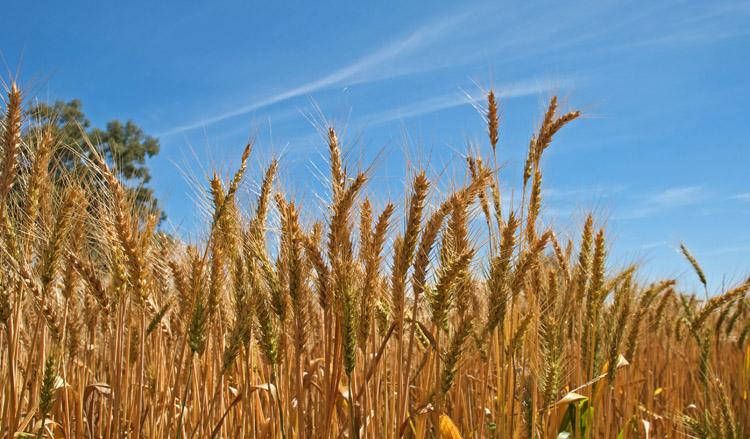 Рост пшеницы