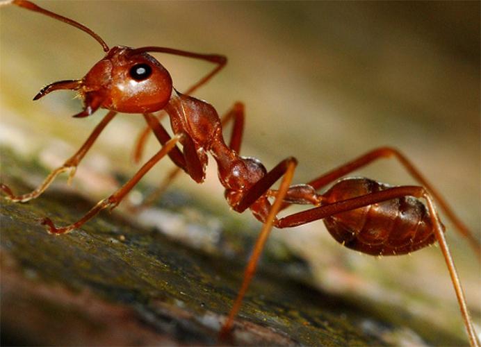 Рыжий мураей