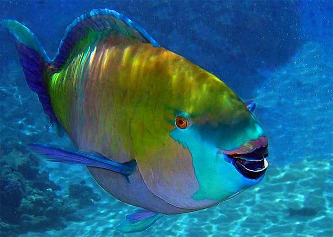 Рыба гермафродит