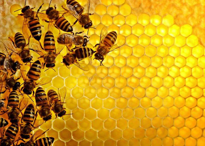 Пчелы медовые