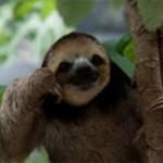 Самые интересные факты о ленивцах