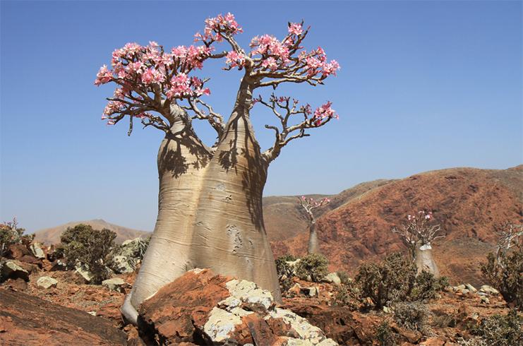 Баобаб цветет