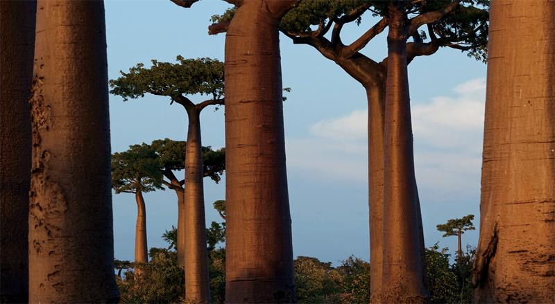 Лес баобабов