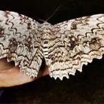 Интересные факты про бабочек (с фото)