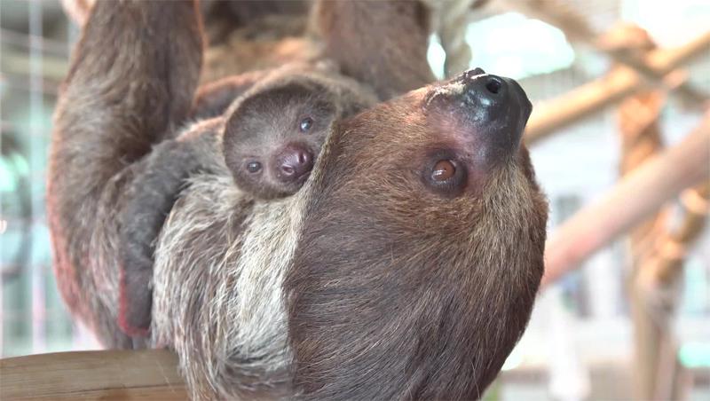 Рождение ленивца