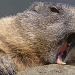Интересные данные и факты из жизни бобров