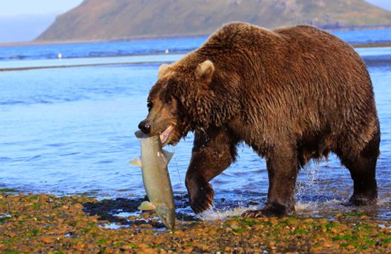 Медведь и добыча