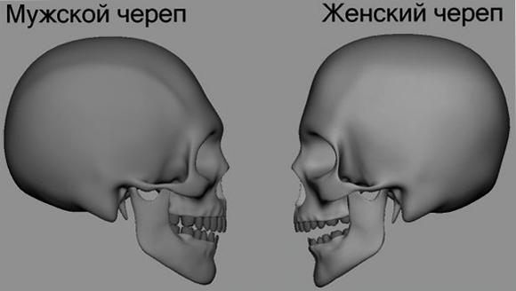 Мужской и женский череп