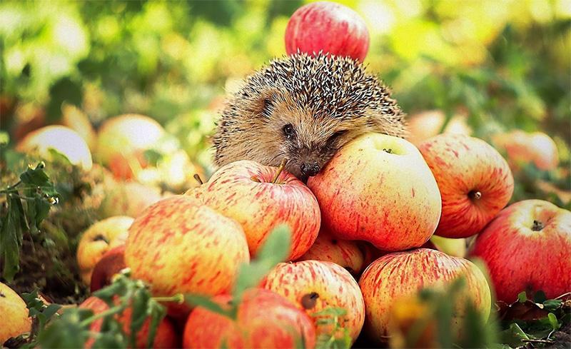 Ежик и яблоки