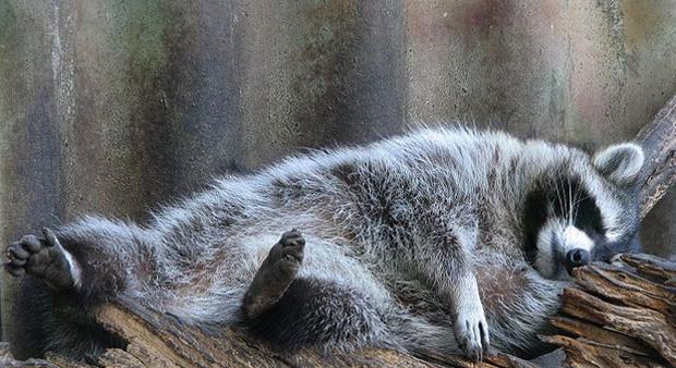 Енот спит