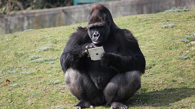 Умная горилла