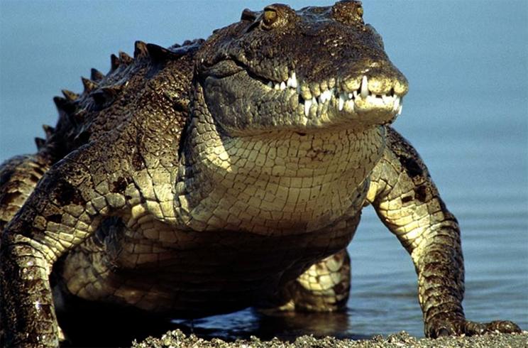 Драка двух аллигаторов попала на видео
