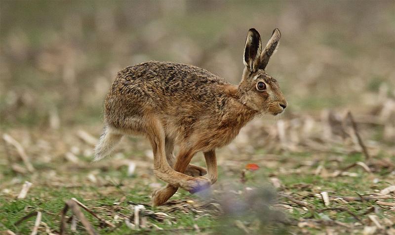 Заяц бежит