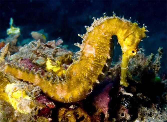 Взрослый морской конек