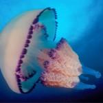 Интересные факты о медузах (с фото)