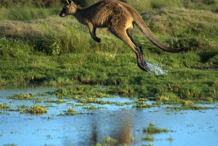 Кенгуру прыгает