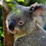 Самые интересные факты о коале