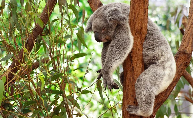 Ленивая коала