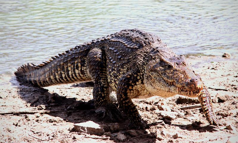 Крокодил выходит