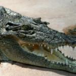 Интересные факты про крокодилов