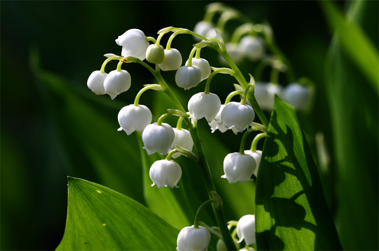 Растение ландыш