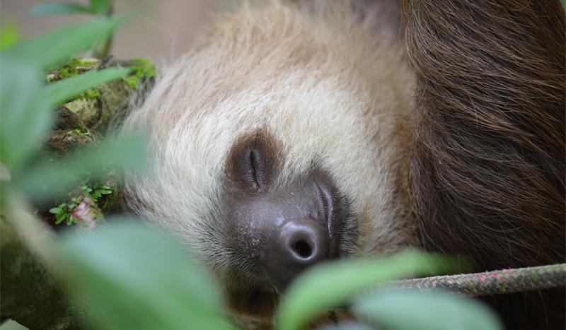 Ленивец спит