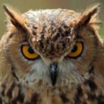 Самые интересные факты о совах