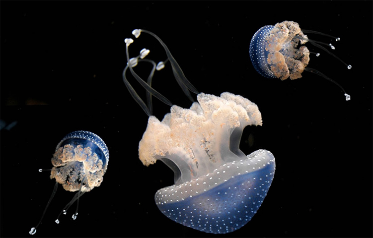 Пятнистая Австралийская медуза