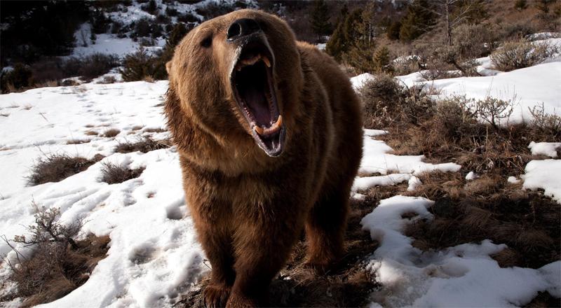 Медведь – шатун