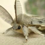 Тутовый шелкопряд: интересные факты и фото