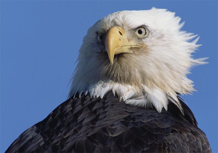 Старый орел