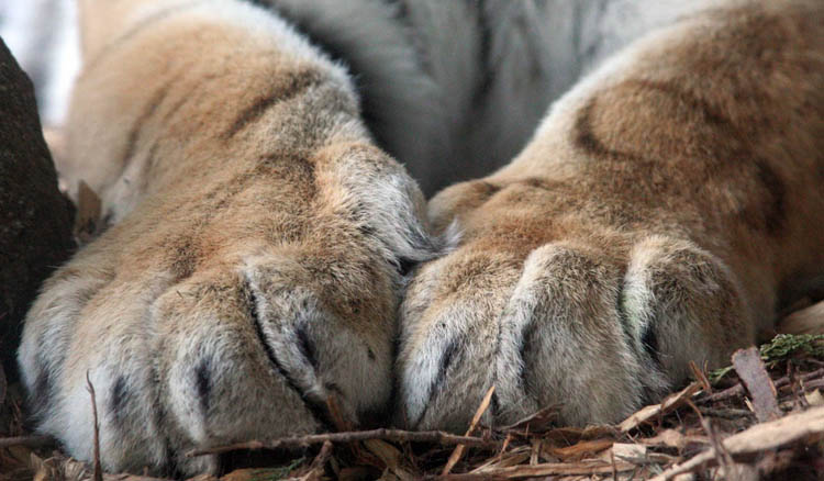 Лапы тигра