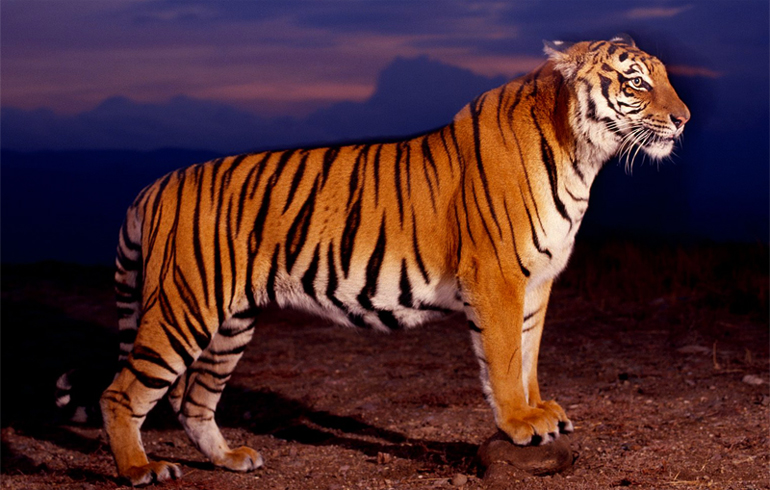 Полосы у тигра