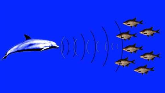 Эхолокация у дельфинов